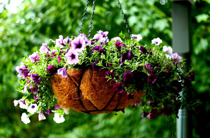 В правильно оформленных каталогах ампельных цветов всегда есть информация о размерах бутонов и листьев