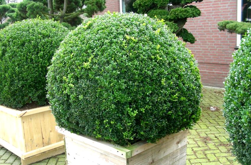 Шаровидные растения всегда являлись отличным элементом оформления приусадебных участков