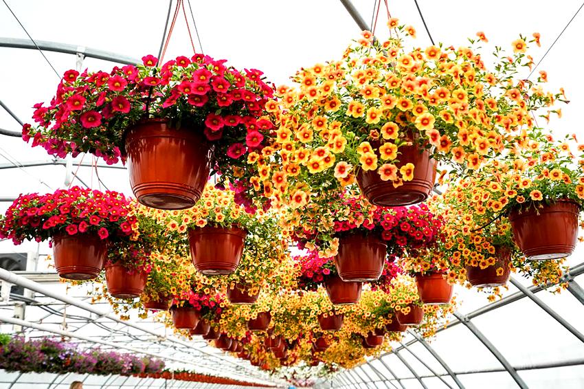 Самыми распространенными видами цветов для подвесных кашпо являются петуния и сурфиния