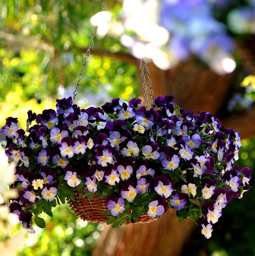 Чтобы участок весной быстро засиял яркими и живыми оттенками, можно не выращивать, а покупать готовые варианты ампельных цветов