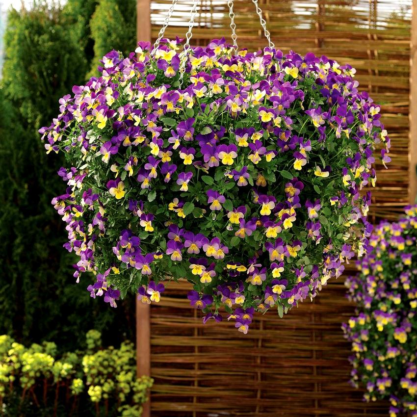 Ампельные цветы любят подкормку, но тут важно не переборщить
