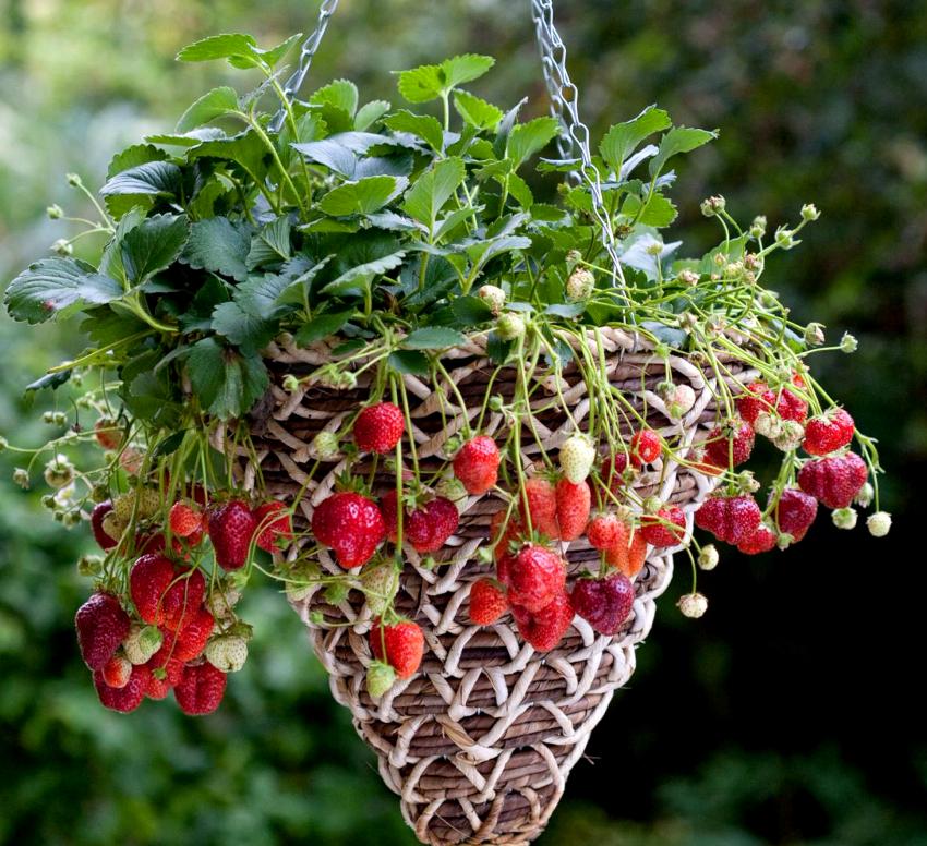 Высаживать в подвесные кашпо можно не только цветы, но и клубнику