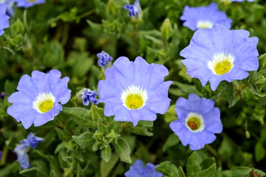 Свисающие цветы ноланы могут украсить любой приусадебный участок